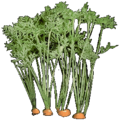 Wild Carrot.png