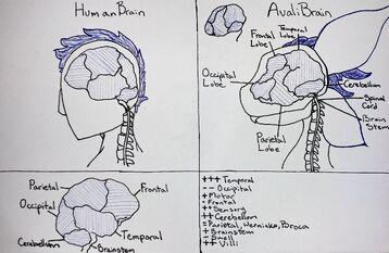 Avali Brain Lobes Clean