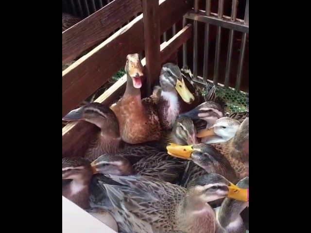 Hillarious duck laughing