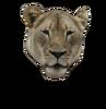 467px-Lion-closed