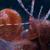 Krayfish