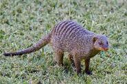 Banded Mongoose, Zambia