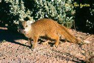 Yellow-mongoose--cynictis-penicillata