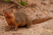 Dwarf-Mongoose-1