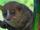 Gerp's mouse lemur