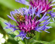 Carnica bee