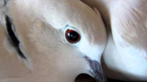 Doves cooing-1522707466
