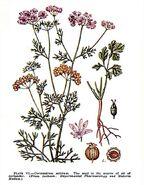 Coriandrum sativum-4