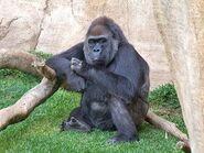 Gorillae