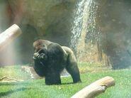 Gorila-en-fuengirola-zoo1-365xXx8