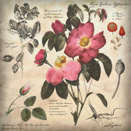 196px-Botanical Illustration