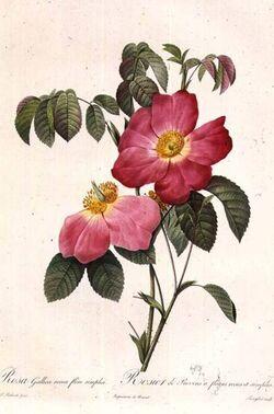 Rosa Gallica Pierre-Joseph Redouté.jpg