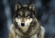 Wolf-Leah-leah-clearwater-3189369-470-324