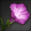 Icon for Morning Glory.