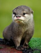 Baby-otter