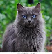 Gray-cat-blue-eyes-looking-600w-721497313