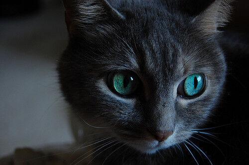 Animal-blue-cat-cute-pretty-thing-Favim com-46188.jpg