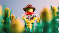 The farmer struggles to pull a corn plant