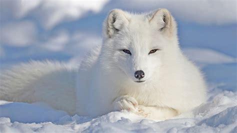 Arctic Vixen Star Gamer