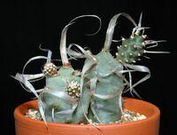 Tephrocactus articulatus var. papyracanthus0.jpg