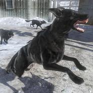 Attack Dogs BO