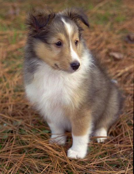 Pets/Tula's Sheepdog