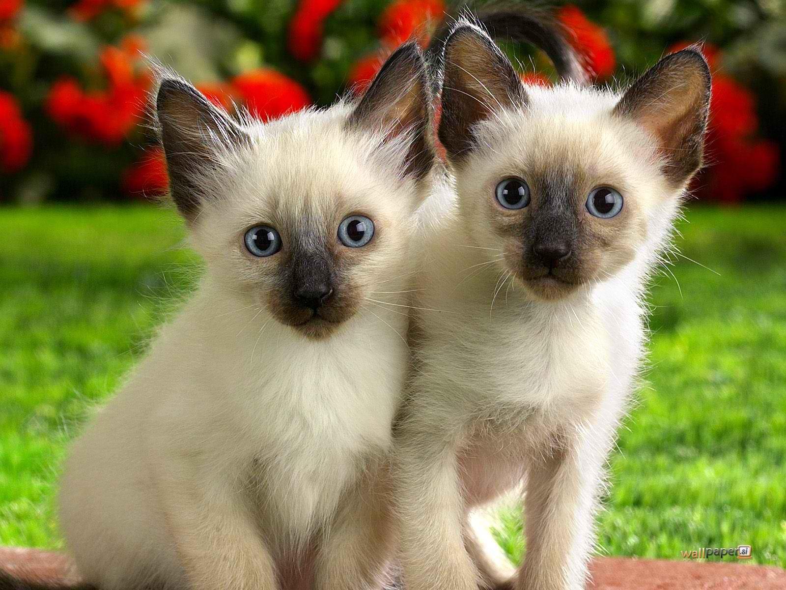 Pets/Julianna's Siamese Kittens