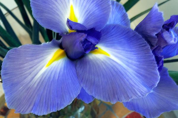Blooming-Blue-Iris-Flower-Photo.jpg