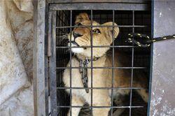 Lion Badge.jpg