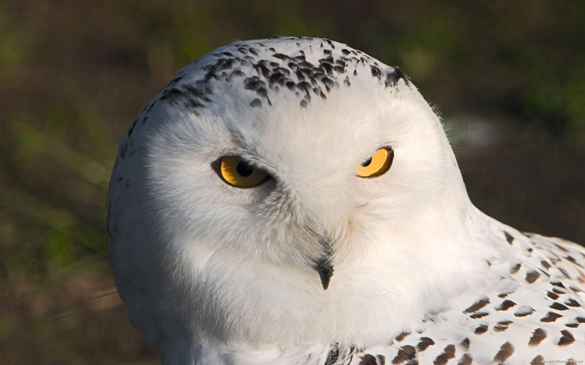 Pets/Callista's Owl