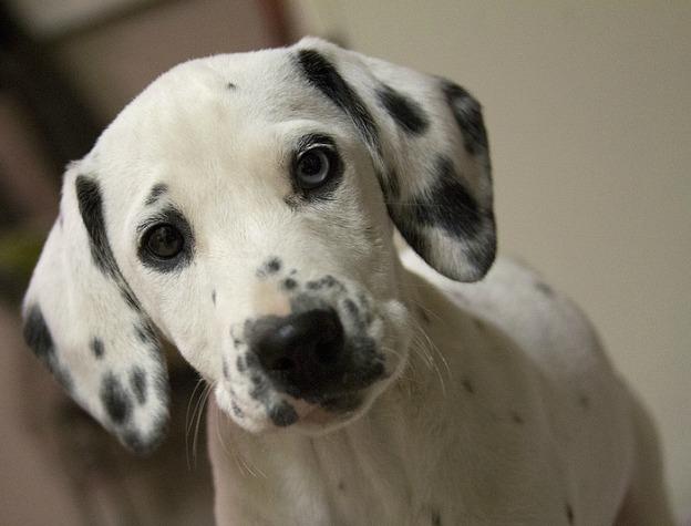 Pets/Annie's Dalmatian