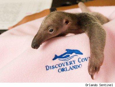 Baby Anteater.jpg