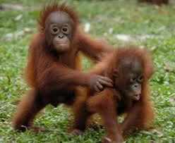 Baby Orangutans.jpg