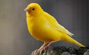 Pets/Marie-Ann's canary,sunny