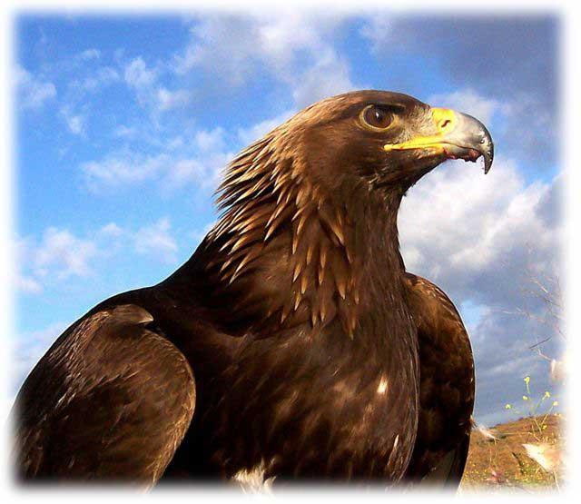 Golden eagle1.jpg