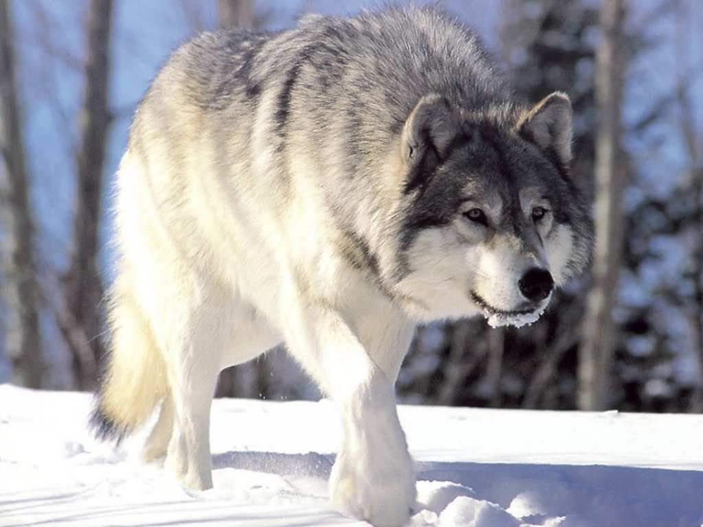 Wolf in the snow-1279.jpg