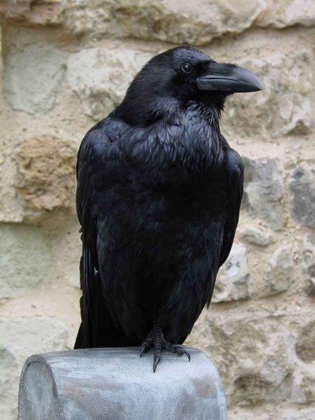 Pets/Hugo's Raven-Claudius