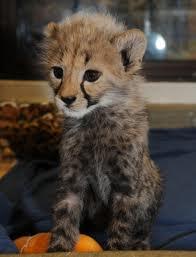 Baby Cheetah.jpg
