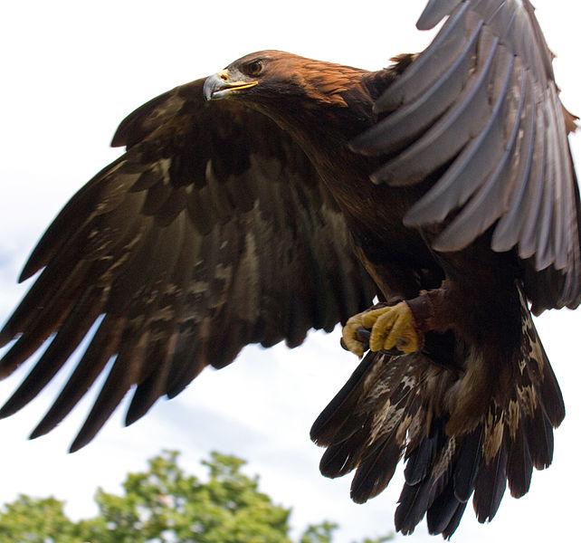 642px-Golden Eagle in flight - 5.jpg