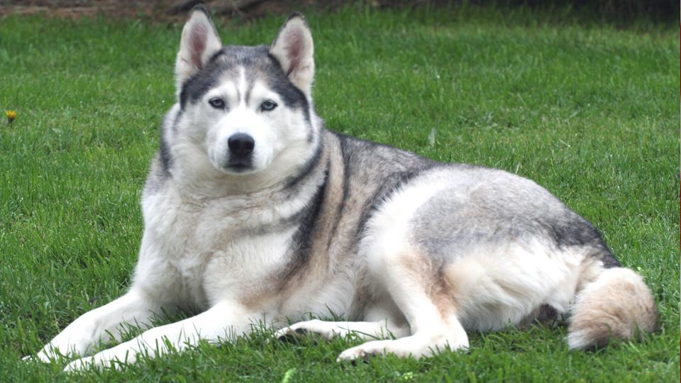 Meet-the-breed-siberian-husky.jpg