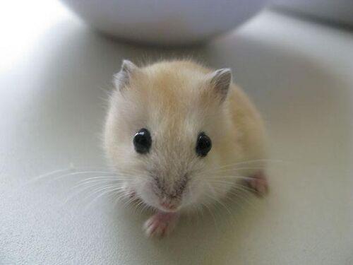 Maple Hamster.jpg