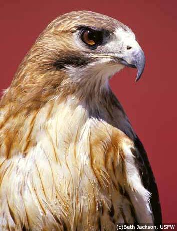 Hawk28492482.jpg