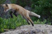 Red Fox Pup(s) Morro Bay, CA 28 May 2008.jpg
