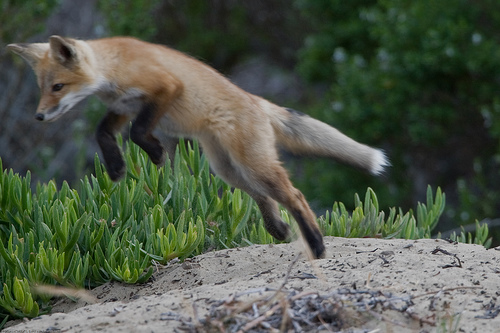 Pets/Dor's Fox