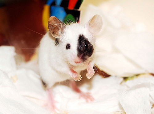 Pets/Mouse- gift from Anjalika
