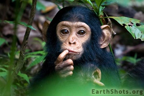 Baby Chimpanzee.jpg