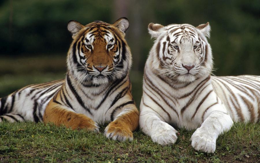 Pets/Shira's tigers