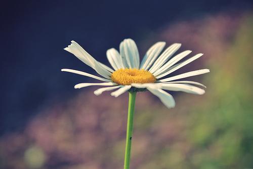 365 Daisy.jpg