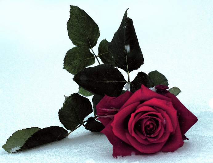 Red rose on snow.png