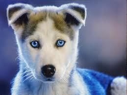 Husky Pup.jpg